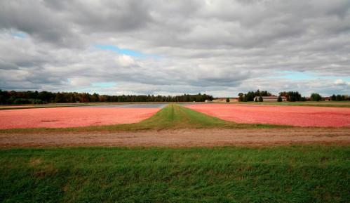 Cranberries at Harvest Time - Warrens, Wisconsin