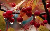 Close-up of common red berries with large drops of water against fall foliage background.