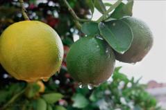 Oranges after the Rain