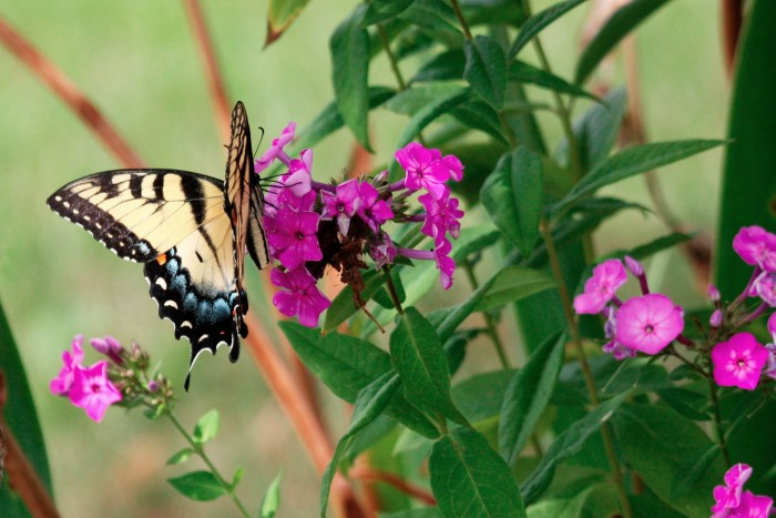 Tiger Swallowtail Butterfly and Flowers - August 12, 2011