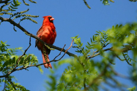 Cardinal02