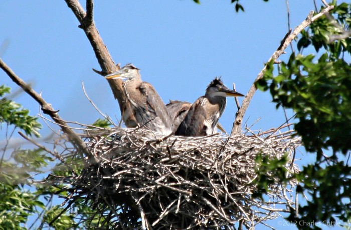 Two heron chicks in their nests looking in different directions