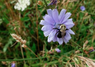 A bumblebee perched on a chicory flower
