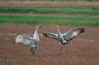 cranes_35