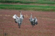 cranes_37