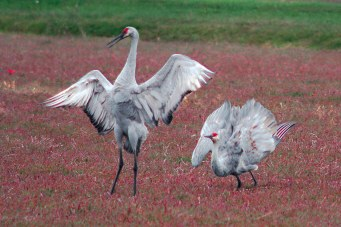 Two sandhill cranes in dance postures
