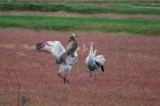 cranes_42v2