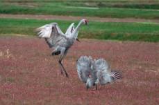 cranes_58