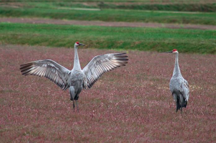 cranes_60