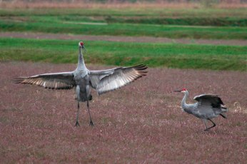 cranes_62