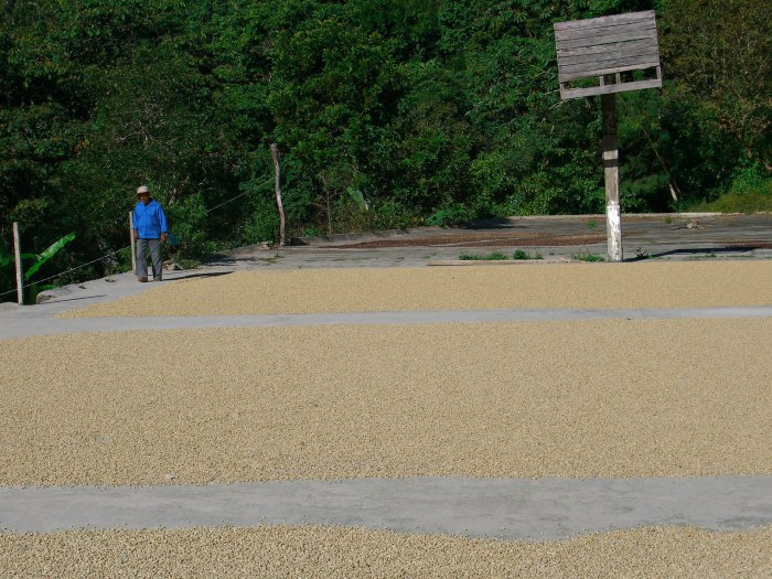 New coffee drying outdoors on a cement floor.