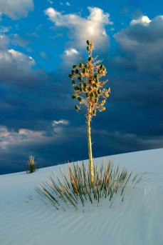 Late afternoon yucca plant