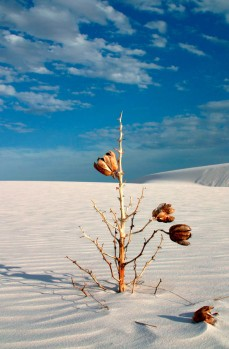 Dead yucca plant in white sand