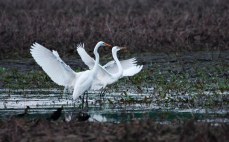 Two Great Egrets - facing the same direction - wings spread and standing in wetlands