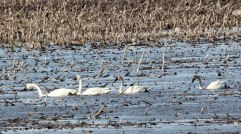 Four Tundra Swans in a Corn Field
