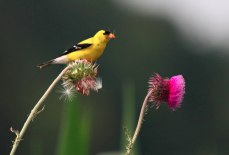 A goldfinch perched atop a thistle with another pink thistle in the foreground with green foliage in the background