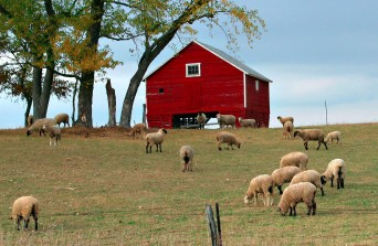 Sheep on a hillside grazing. Red barn at the top of the hill.