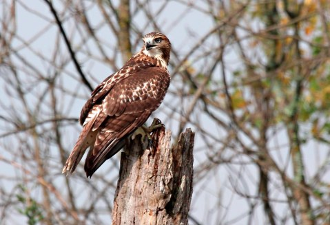 A juvenile red-tailed hawk perched on a dead tree