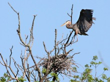 Heron landing at nest - blue sky in background