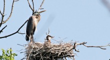 Heron chick in nest with parent standing.