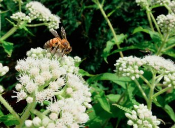 A honey bee perched on top of a Queen Anne's Lace flower.