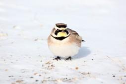 Horned Lark on the Snow