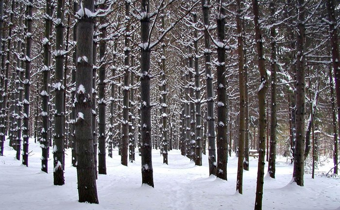 A stand of pine trees in snow.