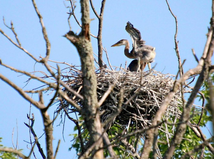 Heron chick in nest flapping its small wings.