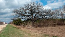 Large bur oak against a partly cloudy sky