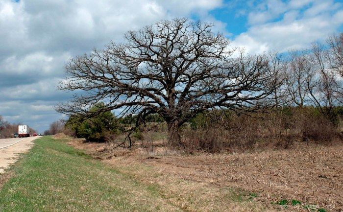 Majestic Bur Oak on Wisconsin Highway 26 - April 2013