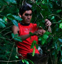 Worker picking coffee in thick foliage