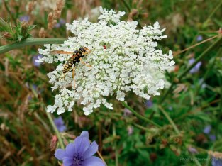 A hornet perched on top of a Queen Anne's Lace flower.