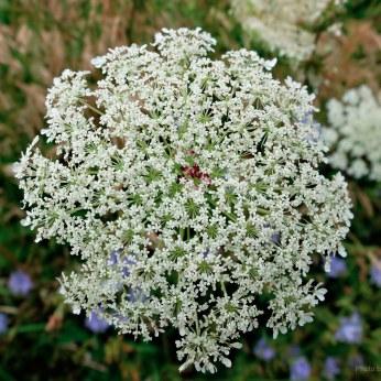 Full resolution top shot of Queen Anne's Lace