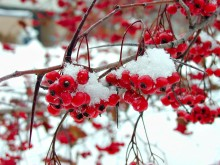 Red berries covered in snow with snow in background.