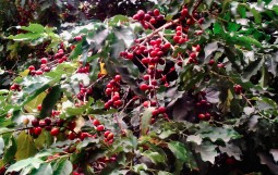 Ripe red coffee beans on coffee plants.