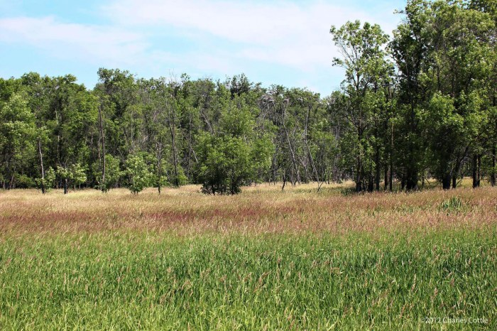 Marsh grass foreground, tall trees with nests in the background