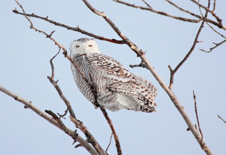 Snowy owl perched in a tree branch looking at the camera.