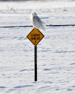 Snowy Owl on a Snow Mobile Sign