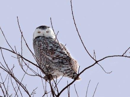 Snowy Owl Near Janesville, Wisconsin