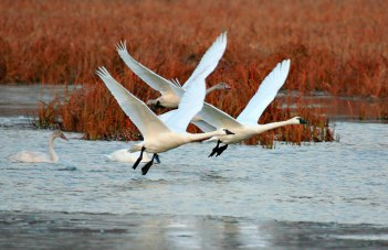 Several tundra swans with synchronized wings taking flight over water
