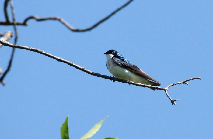 Tree swallow sitting on a small branch against a blue sky