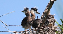 Two heron chicks in their nest.