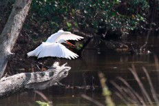 Great Egret with wings extended forward - on a dead tree - overlooking a creek