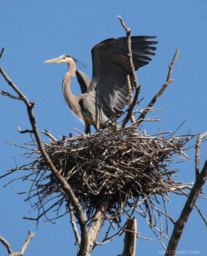 Solitary adult heron keeping watch over a nest