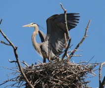 Great blue heron perched above a large nest in a heron rookery